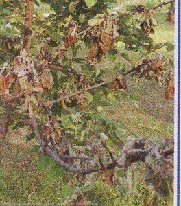 отчего засыхают ветви на яблоне