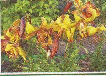 секреты выращивания лилий на садовом участке
