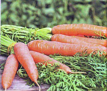 Посадка моркови под зиму: сроки, сорта,подготовка почвы