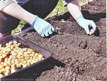 когда и как сажать лук севок