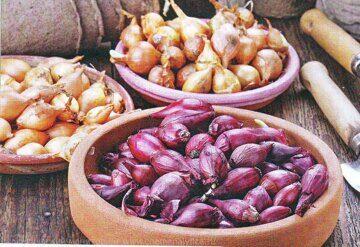 Лук севок: посадка, выращивание и уход за луком